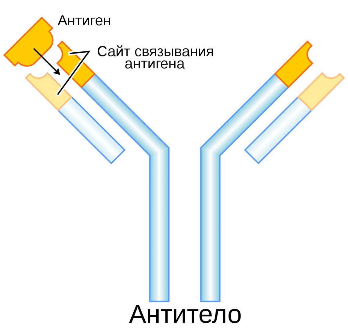 Так схематически изображают антитело. Букву Y образуют т.н. тяжёлые цепи, a кветвям Y прикреплены лёгкие цепи. Синим обозначен константный домен, ажёлтым— вариабельный домен, который как раз иподстраивается под тот или иной антиген.