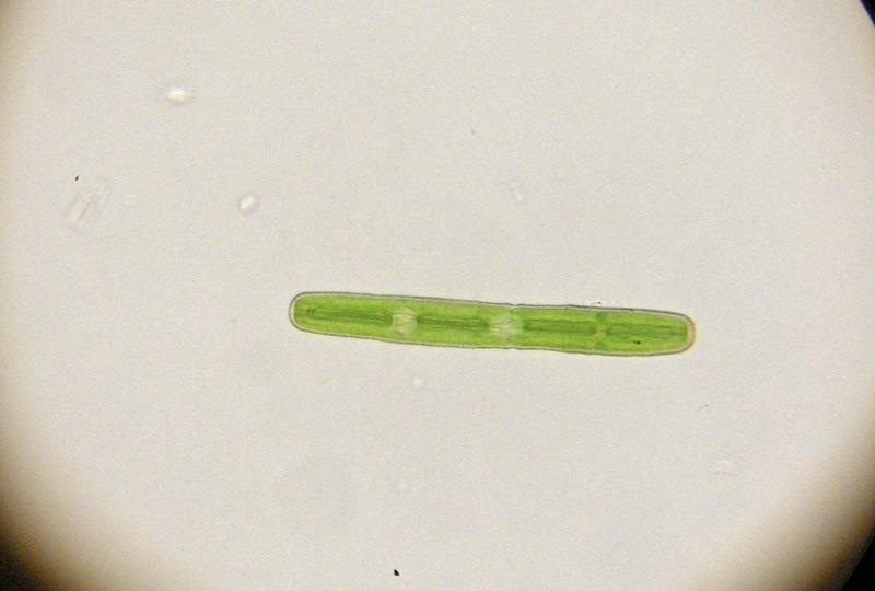 Penium margaritaceum