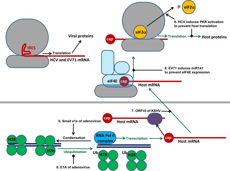Примеры вирусных стратегий ингибирования экспрессии генов хозяина