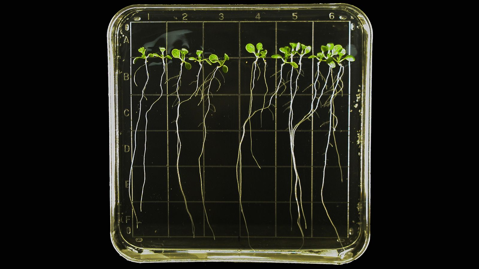 Арабидопсис— хорошо известное модельное растение, используется, вчастности, вкосмических исследованиях.