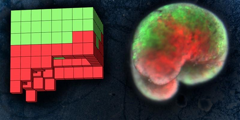 Слева— созданный накомпьютере дизайн ксенобота, справа— его микрофотография