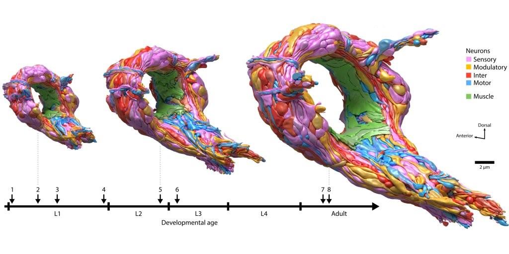 Трёхмерная реконструкция нейросети нематоды натрёх стадиях развития