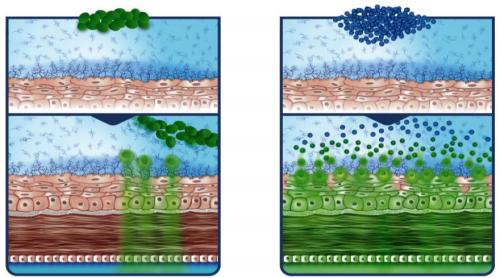 Слева— распределение обычных капель, при котором они легко смываются споверхности иплохо распределяются втолщу конъюнктивы ироговицы. Справа— лекарство внаночастицах преодолевает барьер слизистой оболочки ипопадает вцелевые ткани.