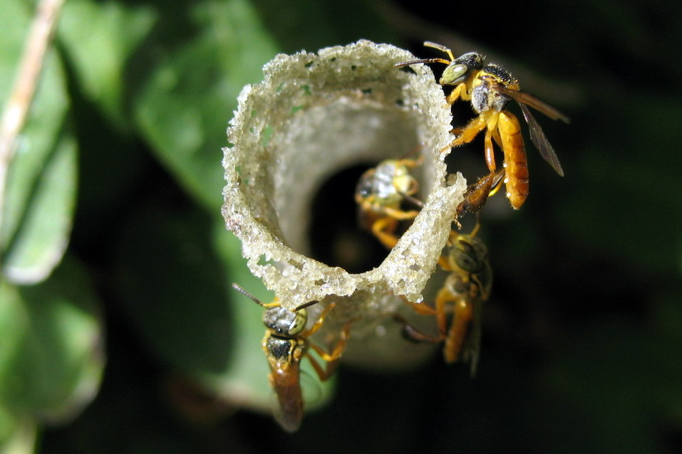 Мексиканские мелипоны вида <i>Tetragonisca angustula</i> строят гнездо.