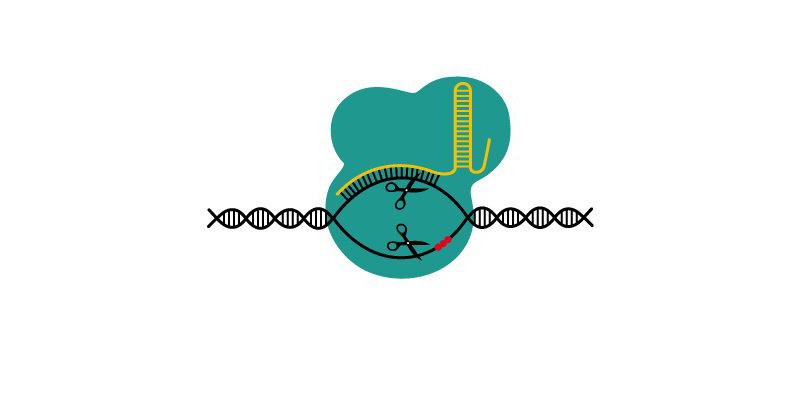 Увеличить точность работы CRISPR-Cas возможно .