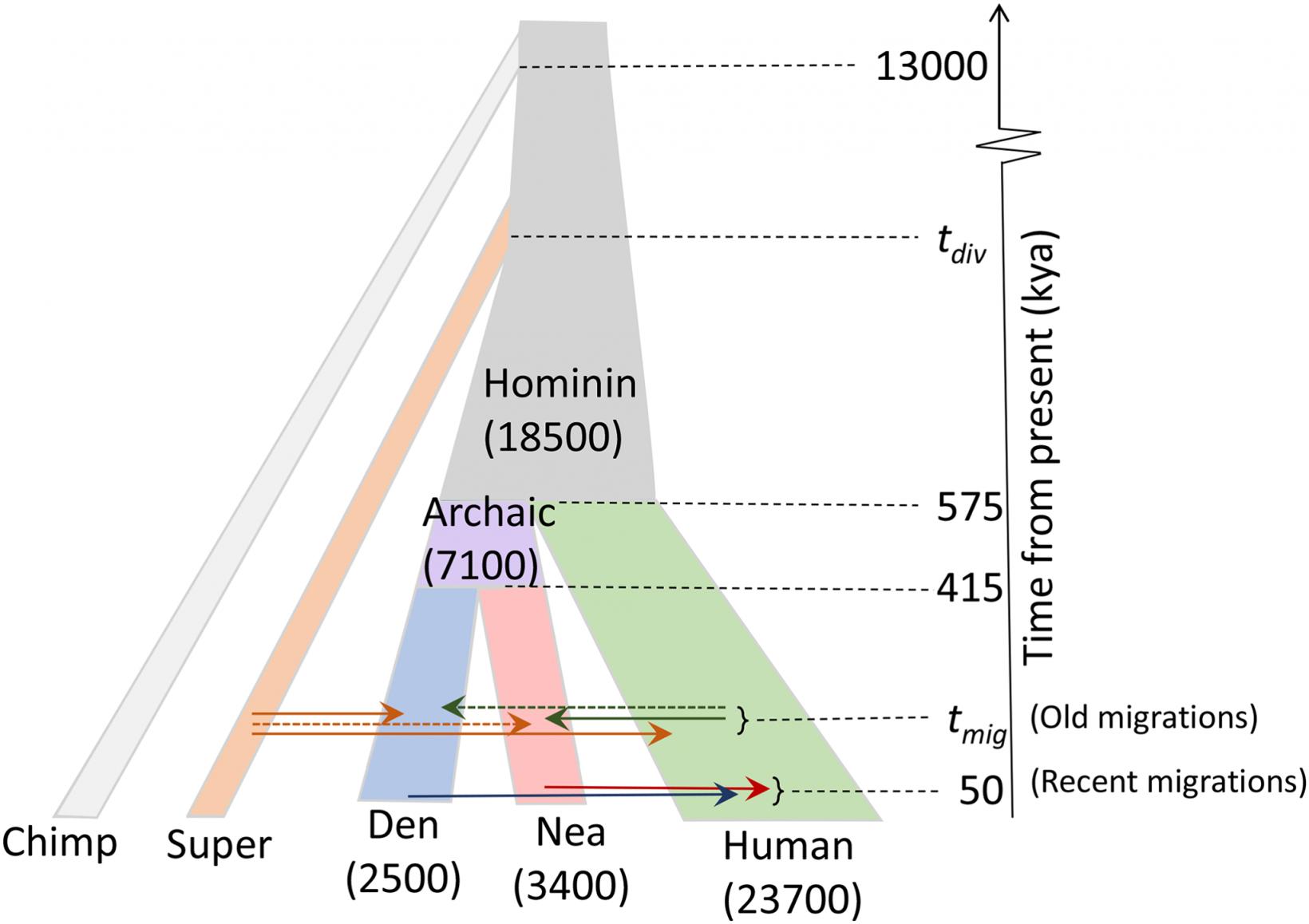 Демографическая модель, использовавшаяся висследовании. Цифры вскобках— размер популяций. По вертикали— время. Стрелки указывают направление интрогрессий.  Пунктирные стрелки— предположительные интрогрессии