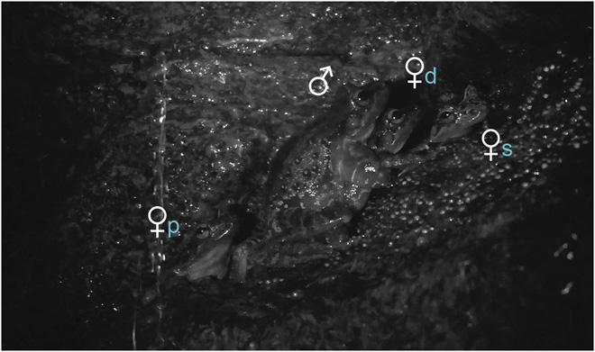 Брачная группа Thoropa taophora: самец (♂), доминирующая (♀d), второстепенная (♀s) ипериферическая (♀p) самки