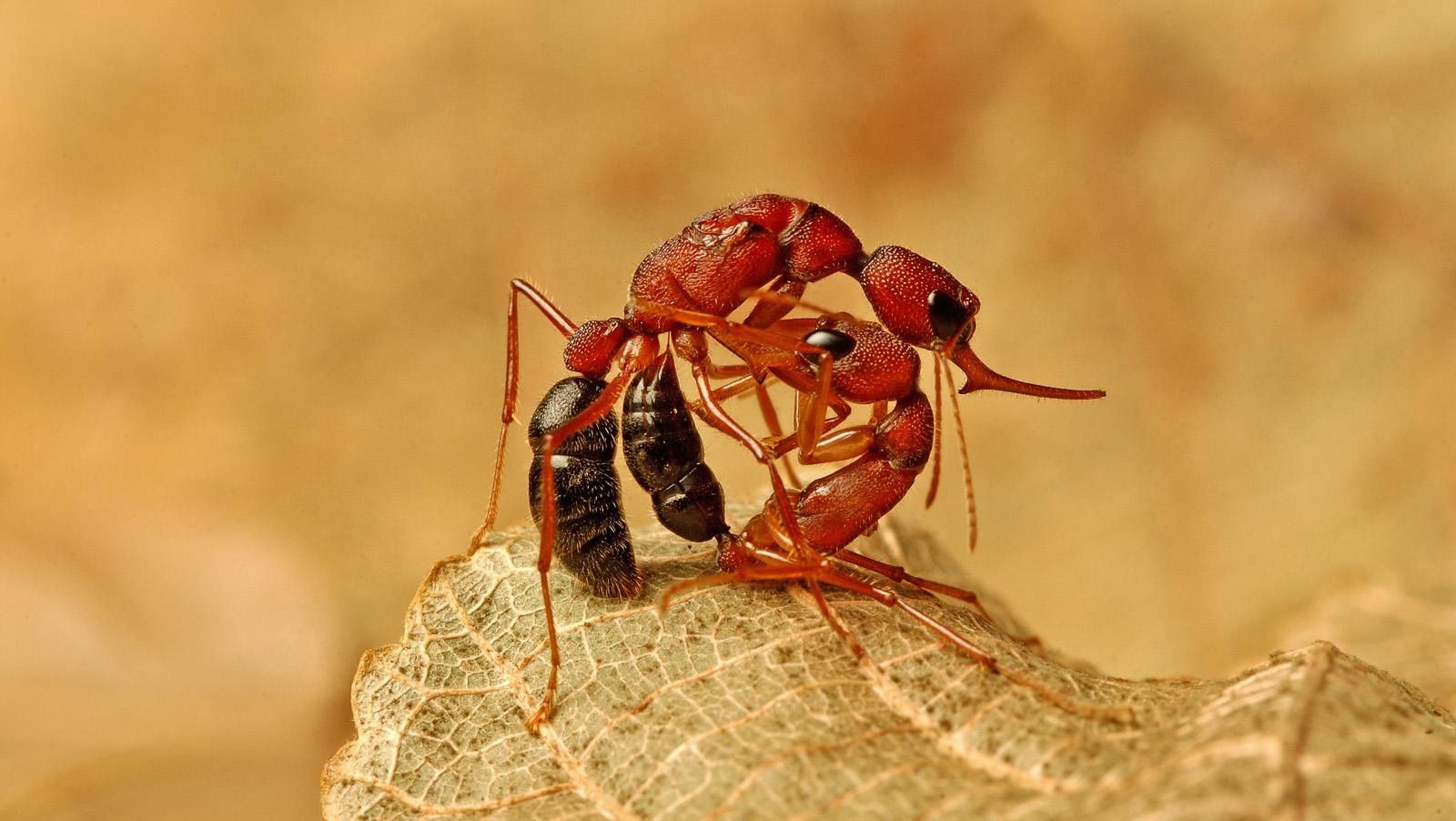 Индийские прыгающие муравьи