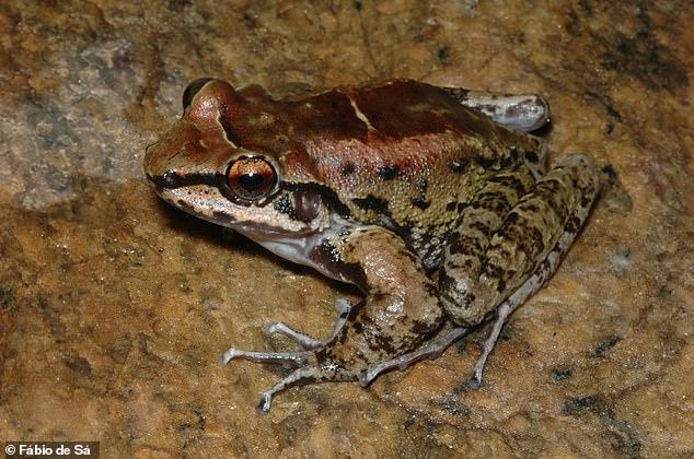 Красновато-коричневатый окрас делает лягушек Thoropa taophora менее заметными нафоне скал
