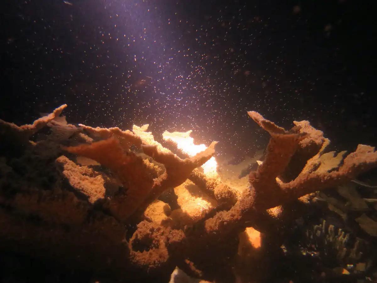 Кораллы часто выпускают сперматозоиды ияйцеклетки вполнолуние
