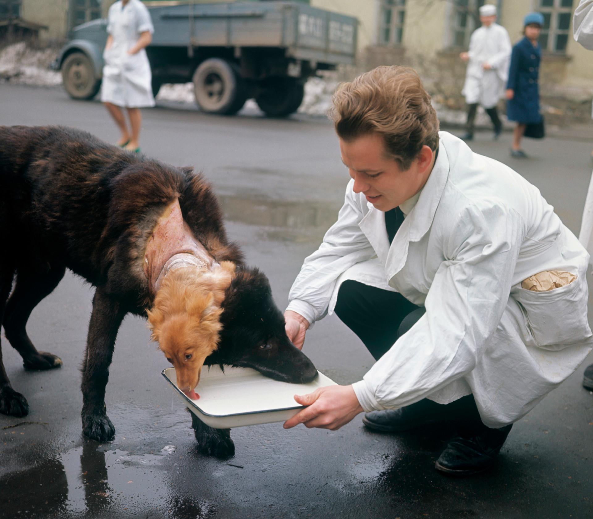 Входе экспериментов было создано 20 двухголовых собак.