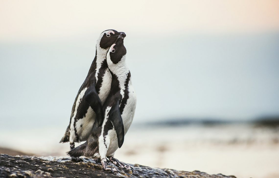 Очковые пингвины во время брачного сезона