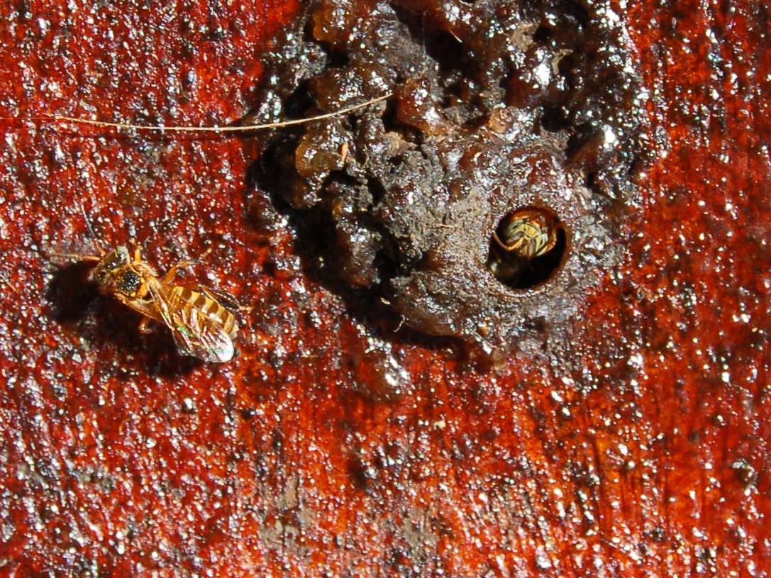 Пчела <i>Frieseomelitta varia</i>, охраняющая вход вколонию.