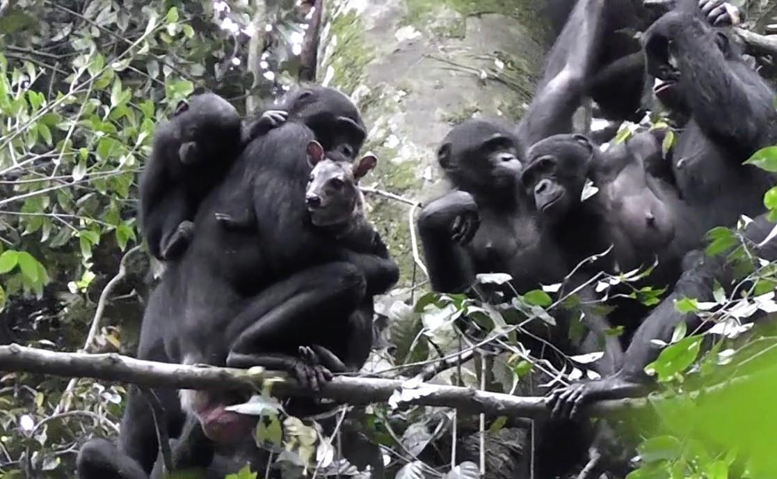 Группа бонобо сдобытым наохоте дукером.
