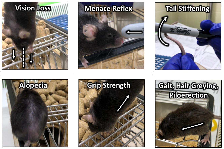 """Показатели здоровья ифизической формы мышей, использующиеся для определения «индекса старения» (<i>frailty index</i>, FI). <a href=""""https://www.nature.com/articles/s41467-020-18446-0"""">Schultz, M.B. et al., <i>Nat Commun</i> 11, 4618 (2020)</a>."""