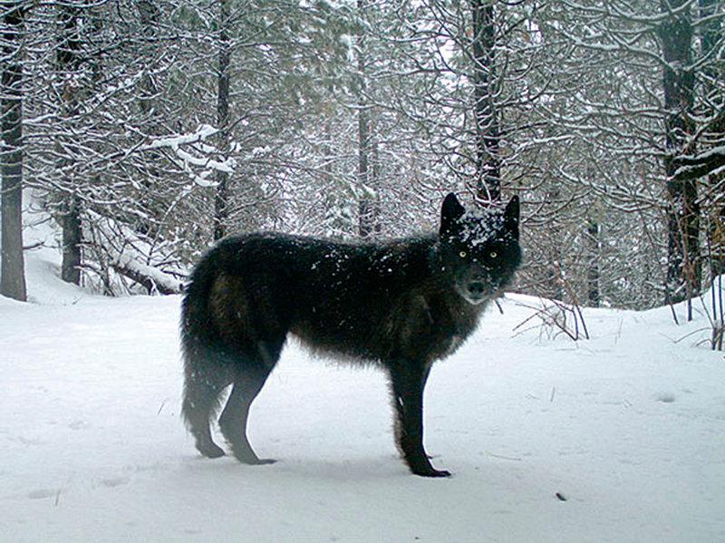 Серый волк из Орегона. Снимок сделан спомощью фотоловушки в2017 году.