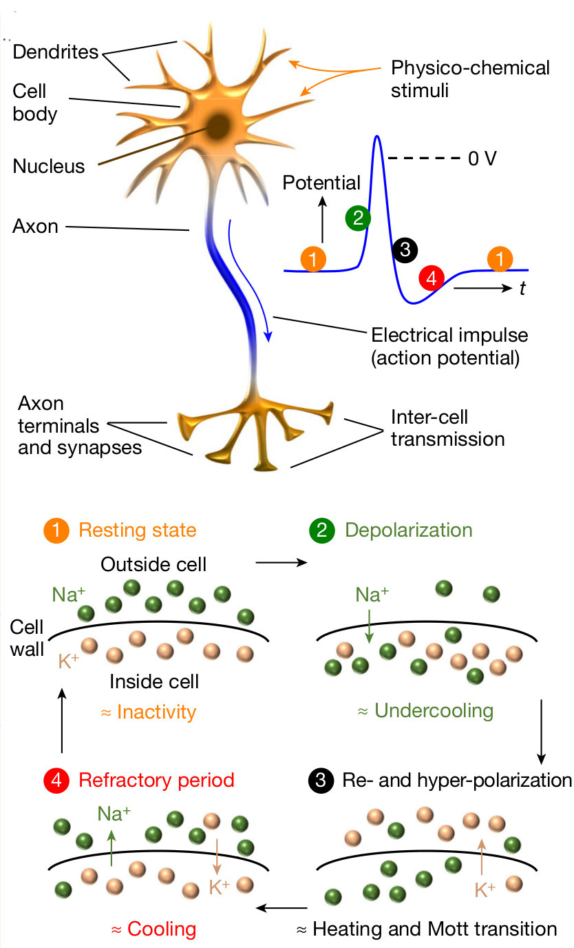neuron pulse