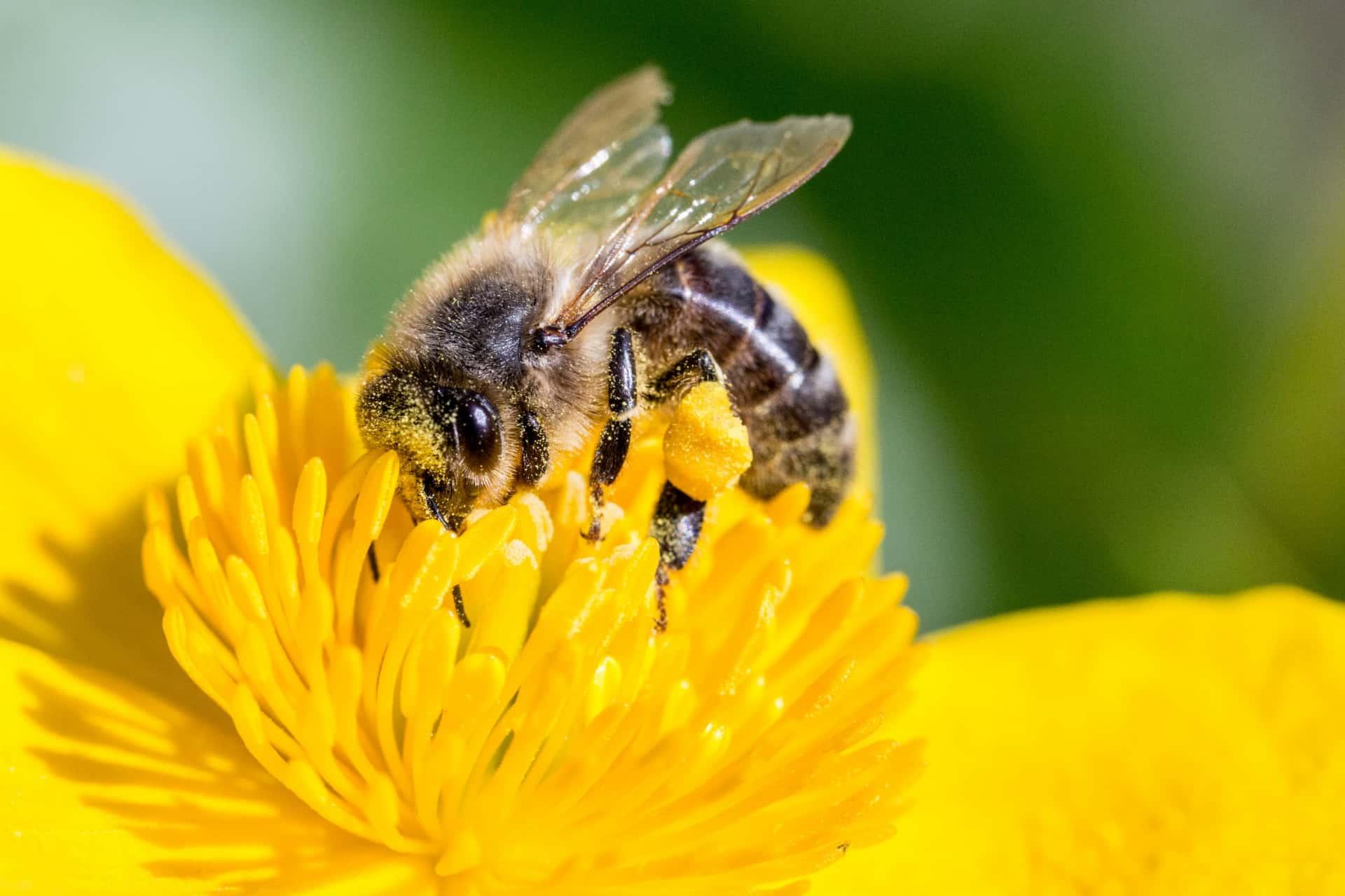 Пчёлы помогают опылять три четверти всех жизненно важных сельскохозяйственных культур вмире.