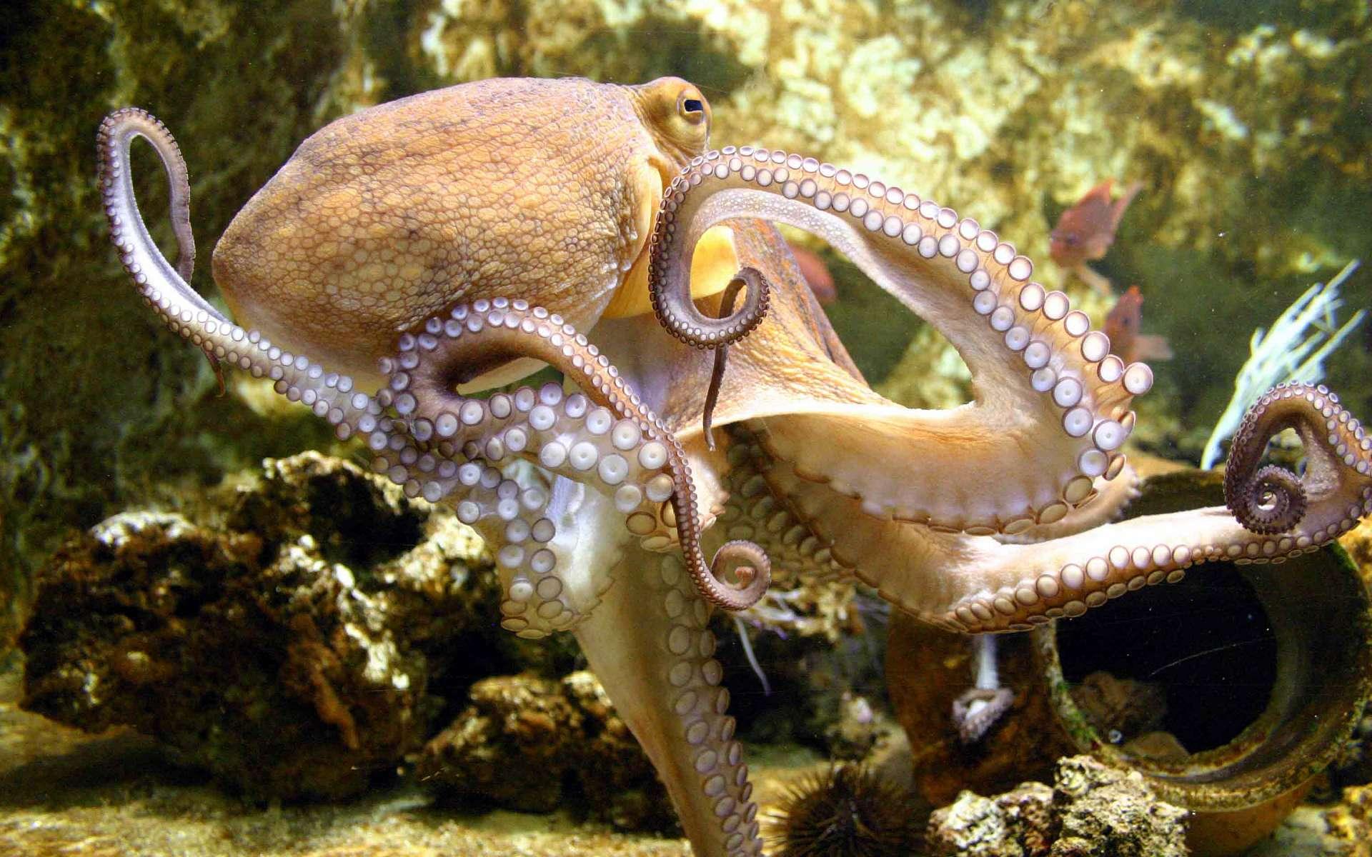 Осьминоги издавна интересовали человека, ине только как предмет гастрономии. Вусловиях скудных знаний об окружающем мире они когда-то вдохновляли богатое воображение авторов историй об ужасных морских чудищах, пример— легенды оКракене. Сейчас люди получают информацию об осьминогах, исследуя их методами современной науки. Идействительность заметно сложнее иинтереснее вымысла.
