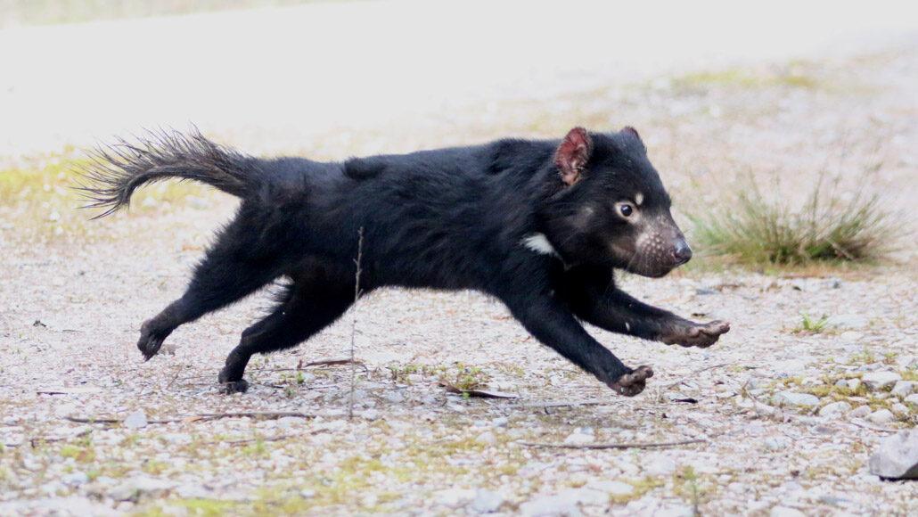 Тасманийские дьяволы — плотоядные сумчатые, живущие восновном наострове Тасмания.