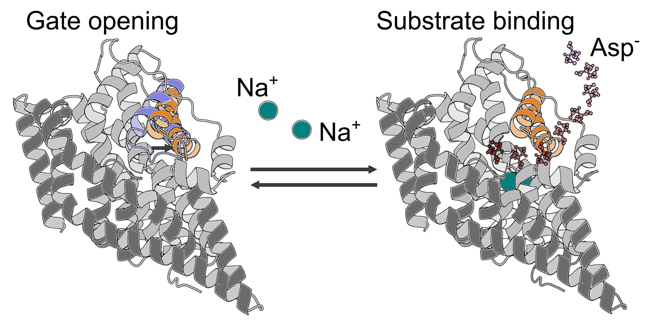 Рисунок 1. Атомистическое молекулярно-динамическое моделирование связывания иона натрия (Na+) странспортёрами глутамата. Отрицательный ион Asp−— аспартат.