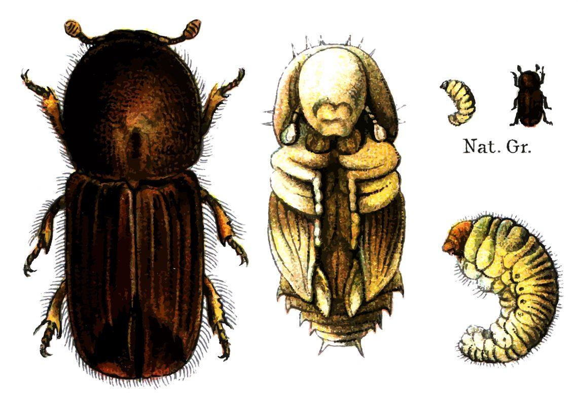 Убийца ёлок— жук-короед (Ips typographus)