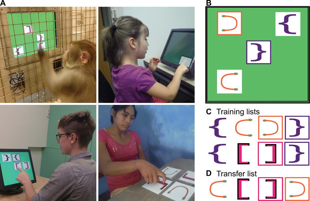 <strong>Рис. 1.</strong> (А) Обезьяны, дети, взрослые американцы ивзрослые чимане выполняют задачу по составлению последовательности. Испытуемые должны были прикасаться кизображениям вопределённом порядке после того, как им показали обучающие примеры. (B) Пример предлагаемых наэкране символов. (C) Обучающие последовательности. (D) Пример последовательности, составленной испытуемым из набора символов, отсутствовавшего (именно втаком составе) вобучающих наборах.
