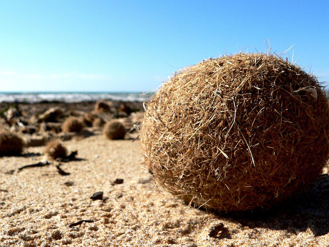 Эти шары из <i>Posedonia oceanica</i> захватывают пластик ивыносят его наберег.