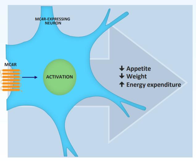 Рисунок 5. MC4R— основной рецептор, скоторым связывается setmelanotide,— находится наповерхности некоторых нейронов. Его активация снижает аппетит имассу тела, атакже увеличивает расход энергии.