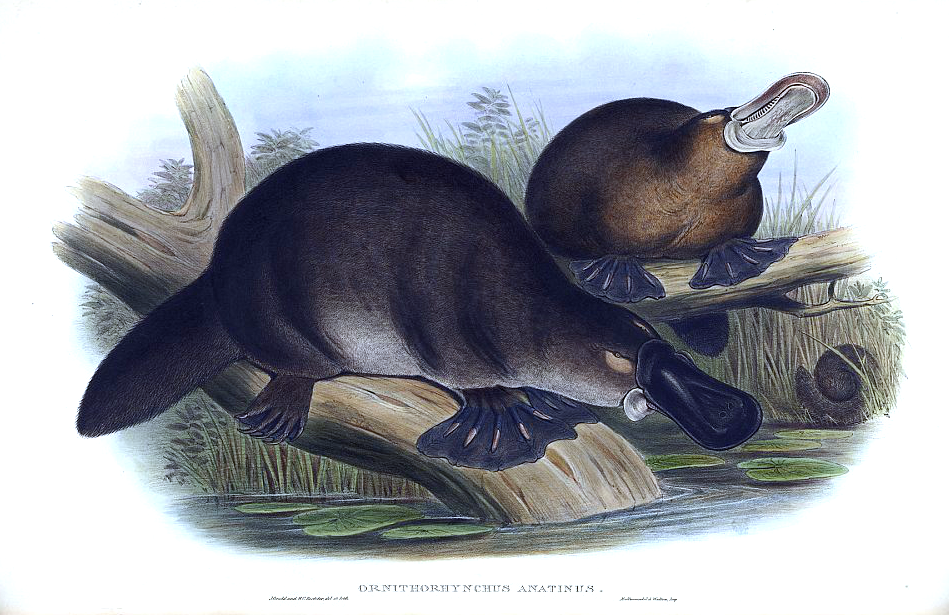 Утконос. Иллюстрация середины XIX века