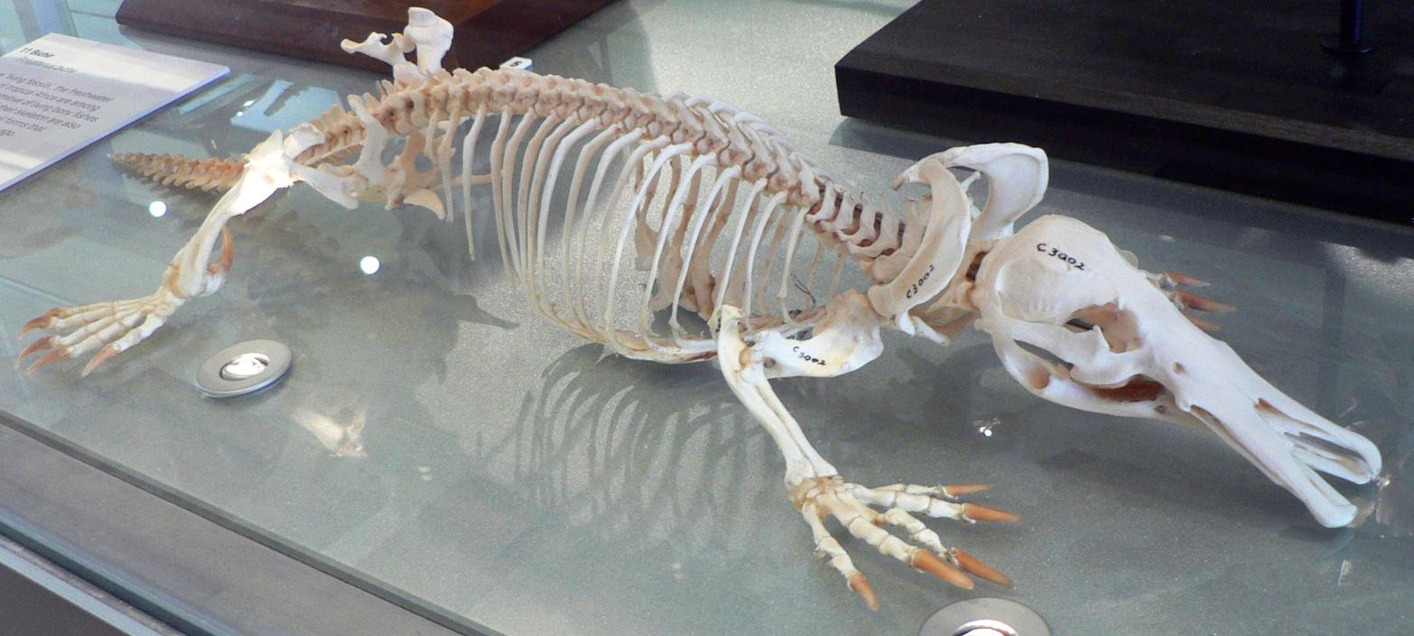 Скелет утконоса вмузее.
