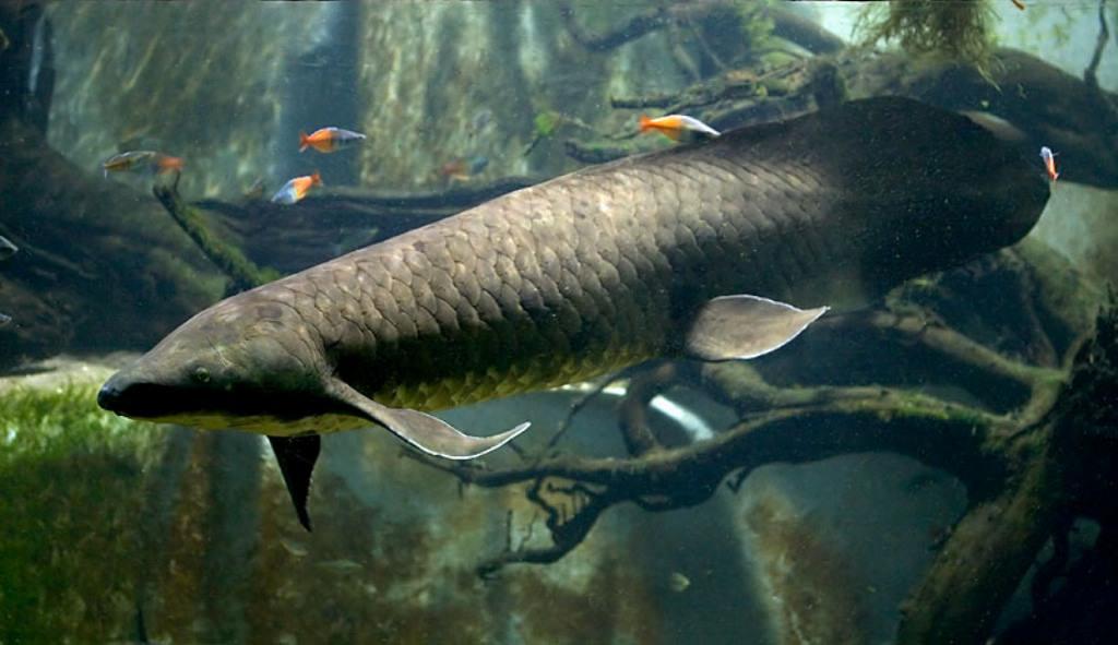 Рогозуб (<i>Neoceratodus forsteri</i>)— живое ископаемое.