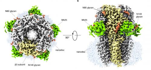 Модель белка апоферритина
