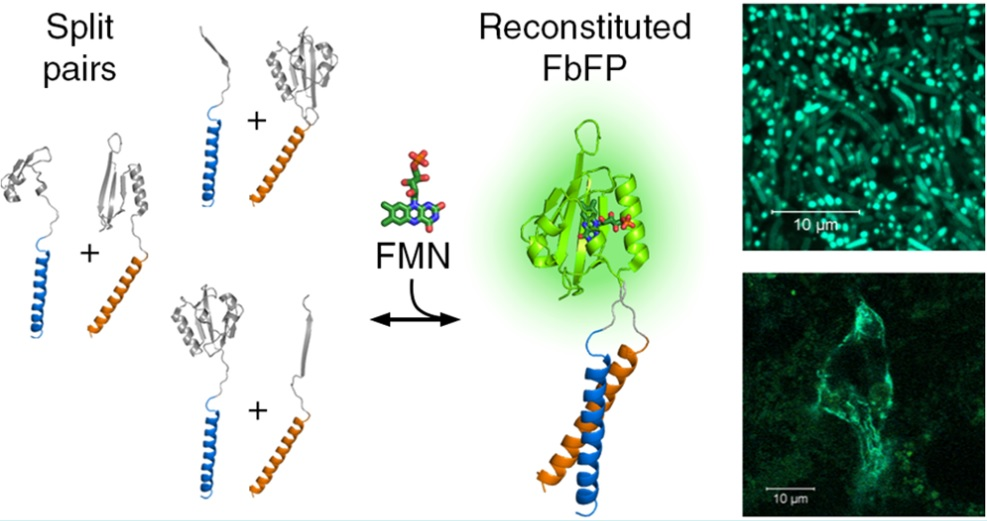 Три способа разрезания флуоресцентного LOV-домена