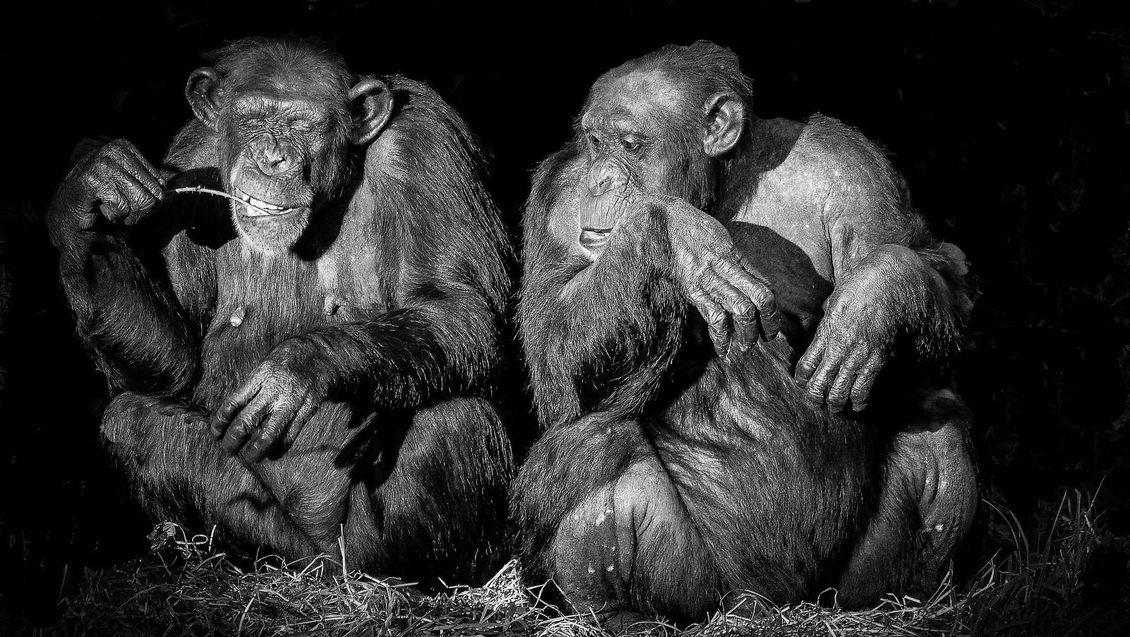 """Пик ЭНЖКС, неврологического ижелудочно-кишечного синдрома, убивающего шимпанзе вСьерра-Леоне, приходится намарт, самый засушливый месяц взаповеднике. Учёные предполагают, что источником болезнетворных бактерий может быть что-то врационе обезьян, характерное именно для этого времени. Фото— <a href=""""https://www.flickr.com/photos/specky4eyes/24456748181/"""" rel=""""noopener"""" target=""""_blank"""">Tim Dutton</a>."""