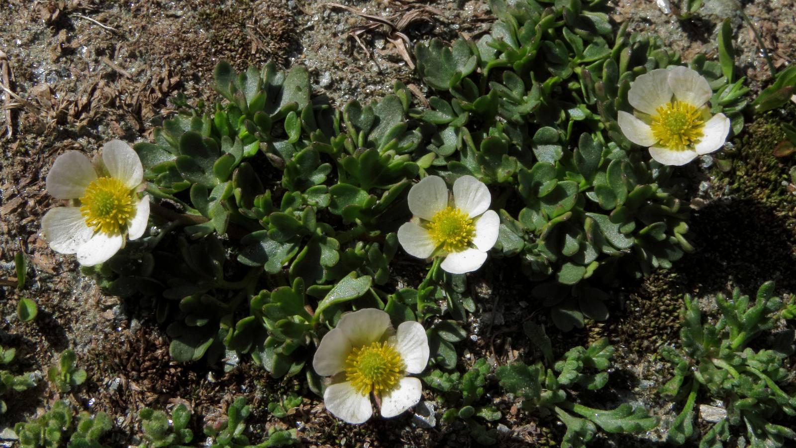 <i>Ranunculus glacialis</i>, один из видов альпийский растений.
