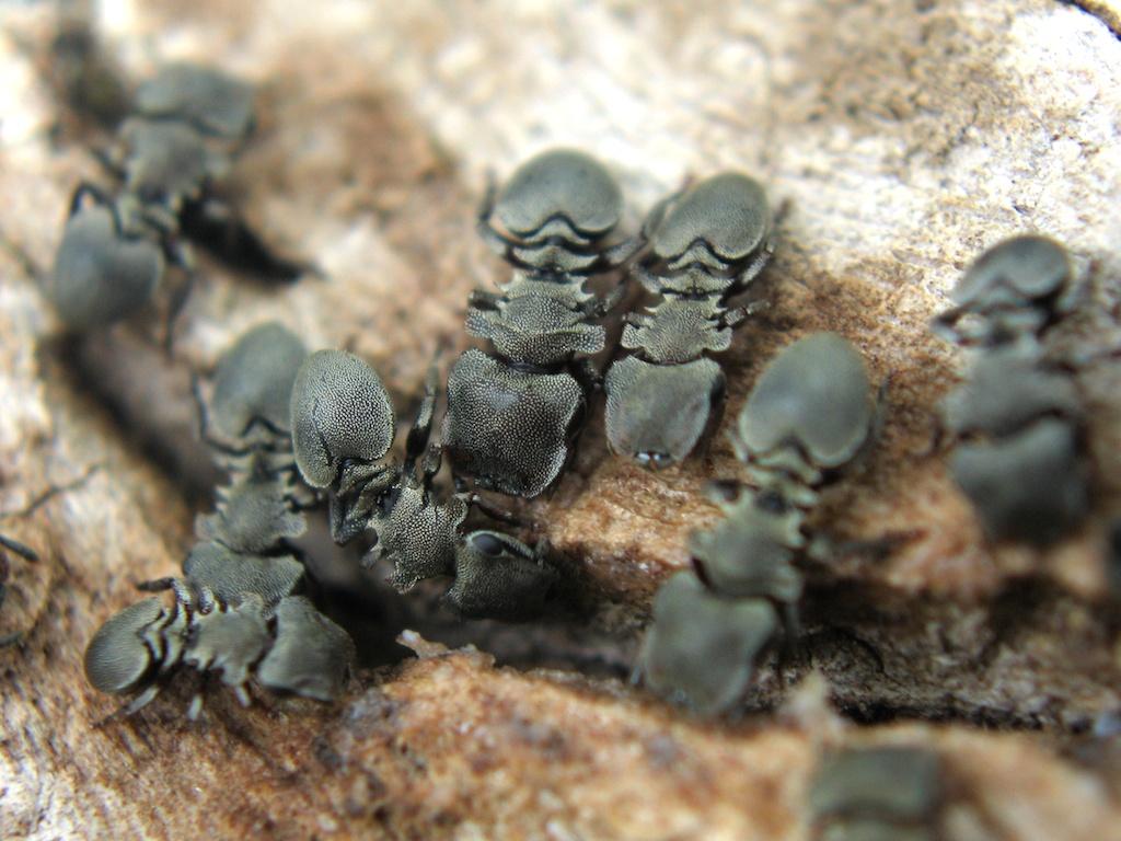 <i>Cephalotes</i> известны своим крепким экзоскелетом— настоящей тяжёлой бронёй, защищающей от хищников.