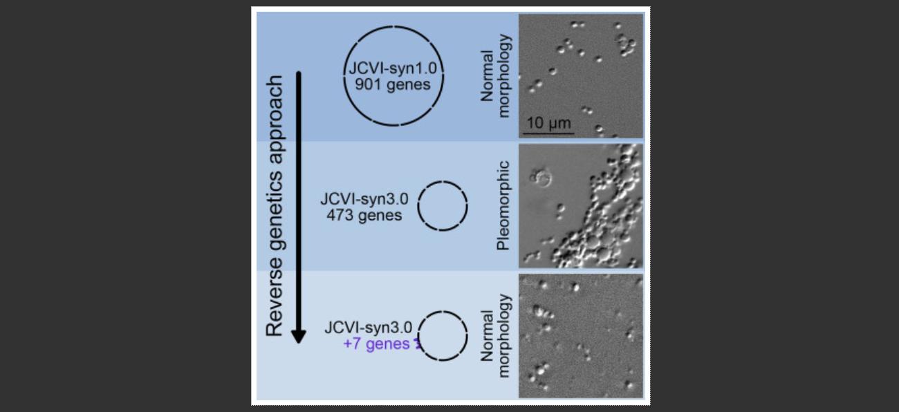 Синтетический организм JCVI-syn1.0 (верхний снимок), синтетический организм JCVI-syn3.0 (средний снимок, видны клетки разных размеров, вт.ч. объединённые внити) иJCVI-syn3.0 сдобавленными генами, которые должны обеспечивать нормальное деление (внизу).