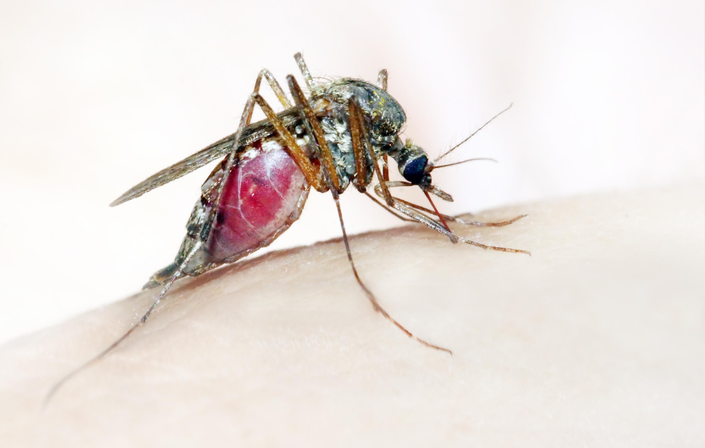 Самка комара рода <i>Anopheles</i>— переносчик малярии.