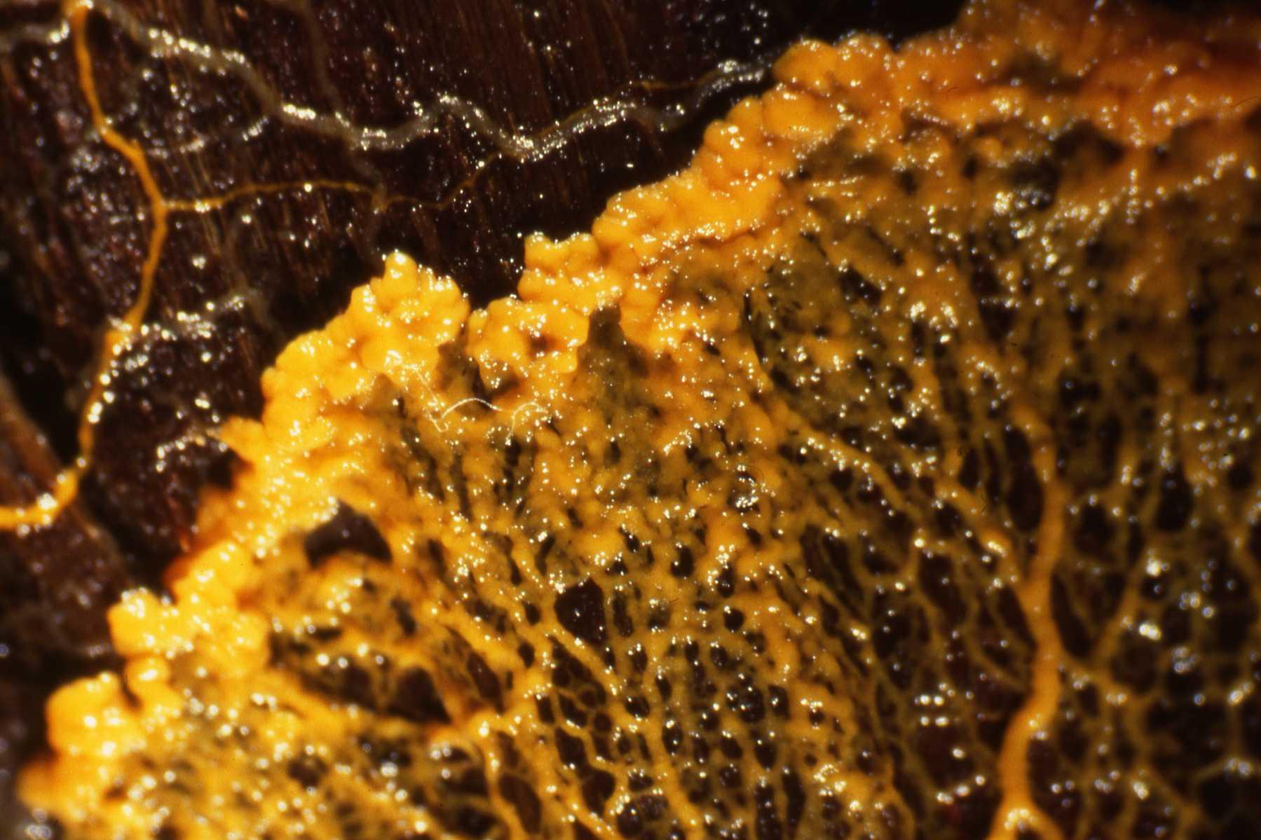 Слизевик Physarum polycephalum