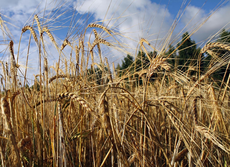 Зерновые культуры очень питательны иявляются важной частью человеческого рациона по всему миру.