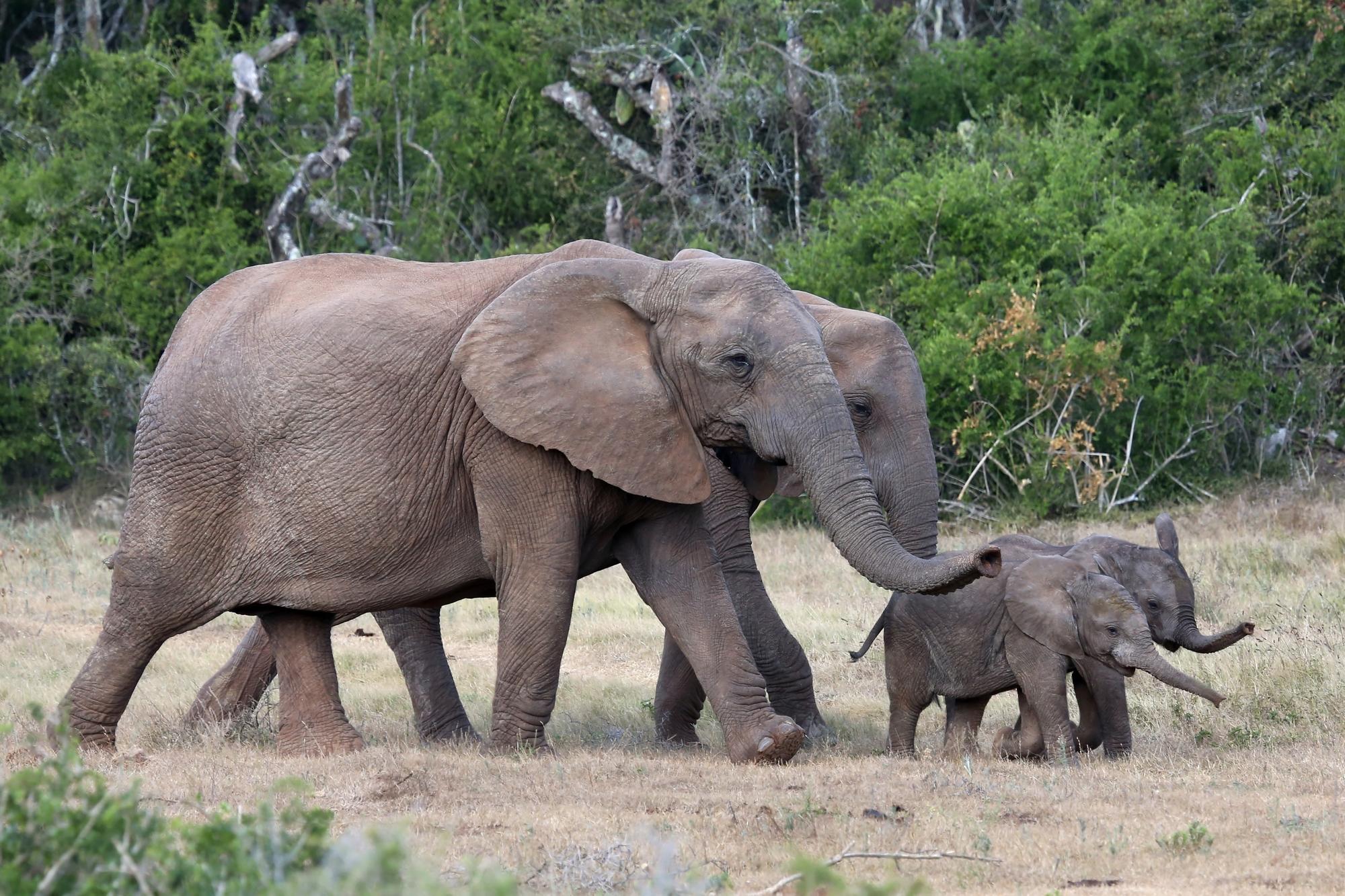 Самки африканских слонов всё чаще обходятся без бивней.