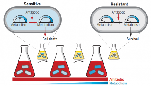 Бактериальные клетки подвергались воздействию высоких концентраций антибиотиков (красный) втечение коротких временных промежутков при постоянно возрастающих уровнях метаболизма (оттенки синего, более насыщенный— более высокий уровень метаболизма). Эти промежутки были разделены периодами роста без лекарственного воздействия (маленькие колбы). Время исследования обозначено направлением слева направо. Первоначально опосредованная антибиотиками метаболическая стимуляция способствовала смерти части бактерий (чувствительных клеток, sensitive). Эволюционировавшие клетки приобрели резистентность, вызванную снижением уровня базовой метаболической активности, что позволило им избежать воздействия антибиотиков ипоследующей смерти (резистентные клетки, resistant)