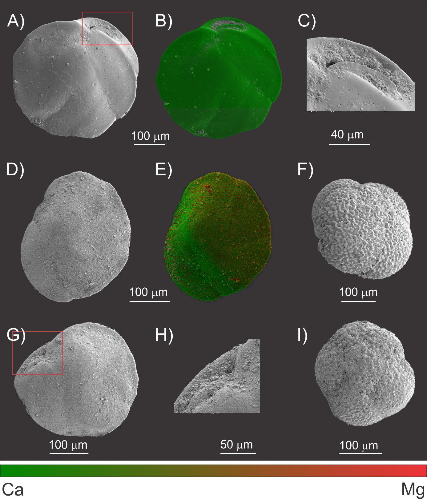 goraminifera electron back scattered microscopy