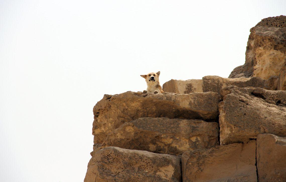 «Страж пирамиды Хуфу»— пёс