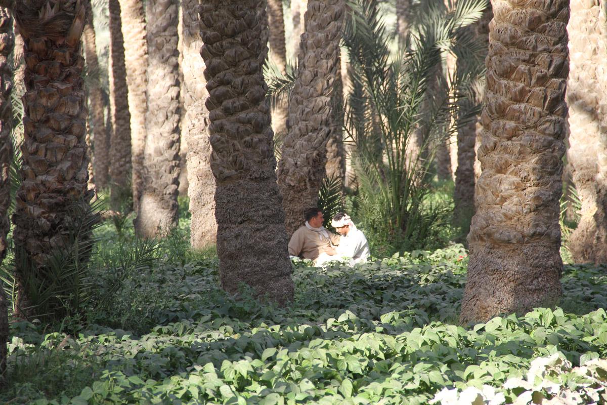 Египетские крестьяне что-то собирают
