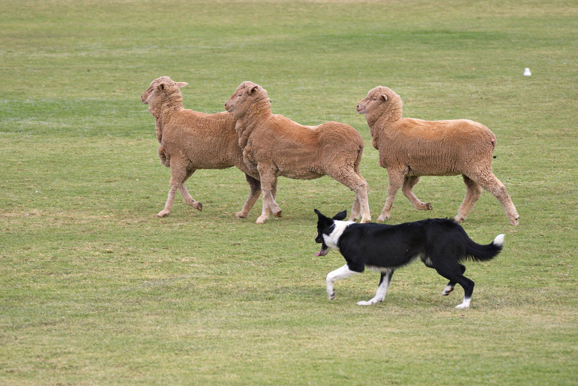 Считается, что чаще всего талантливые собаки встречаются среди представителей пастушьих пород.