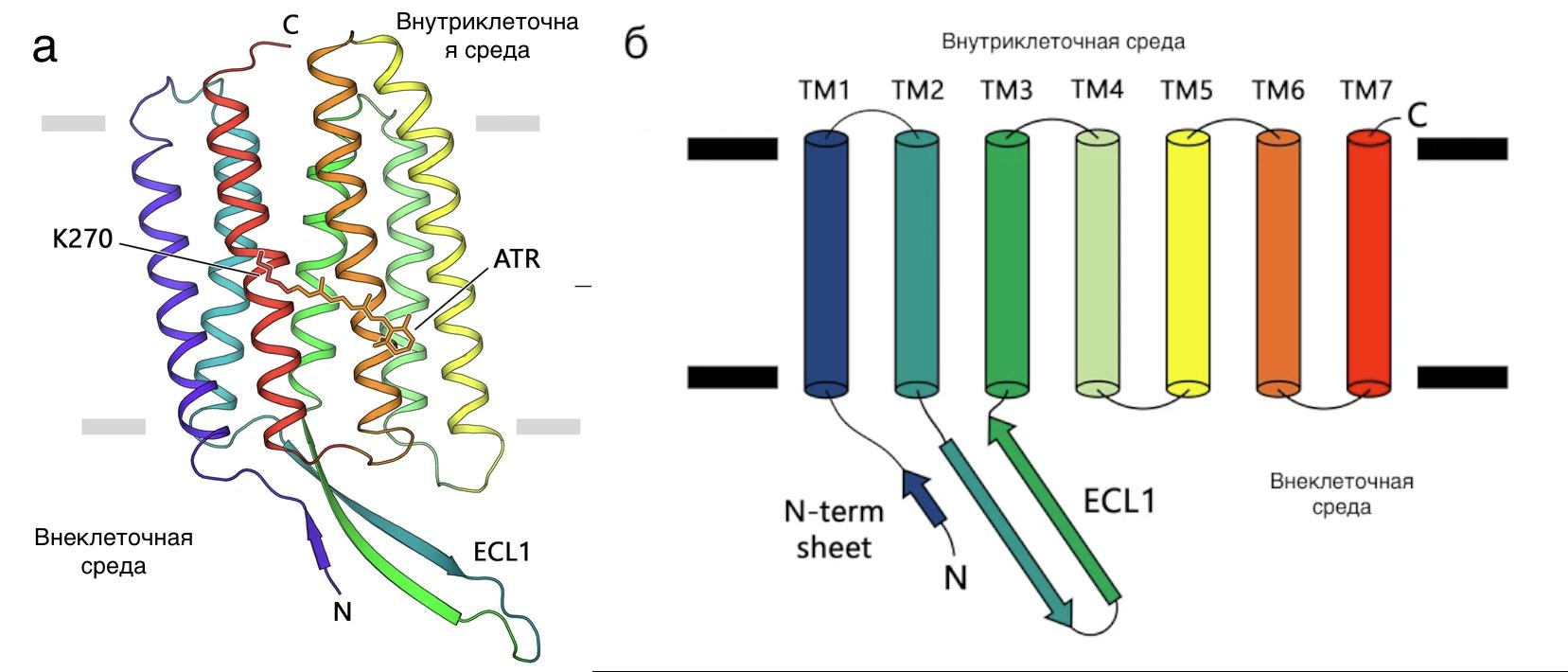 А) структура исследованного родопсина, Б) схема соединения спиралей белка.