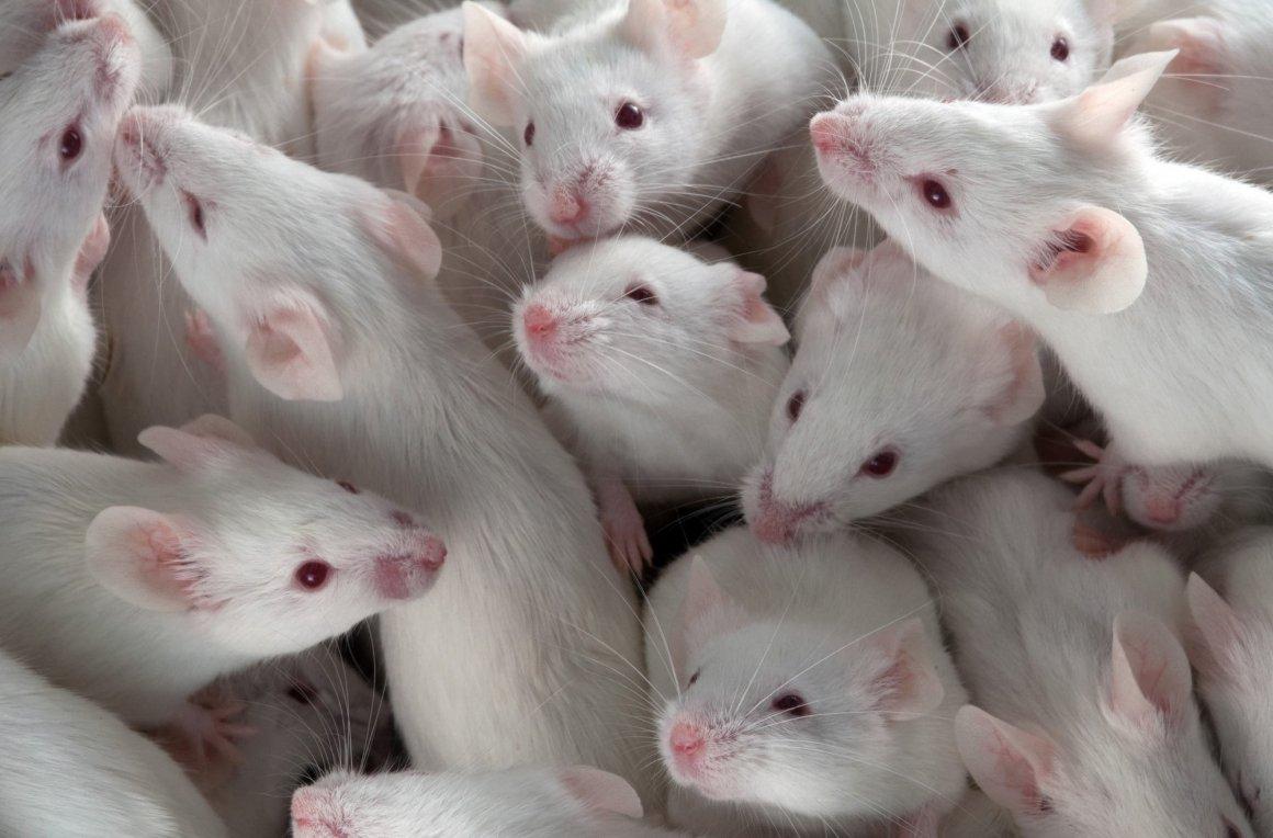 Фактор роста значительно замедлил процессы старения уподопытных животных.