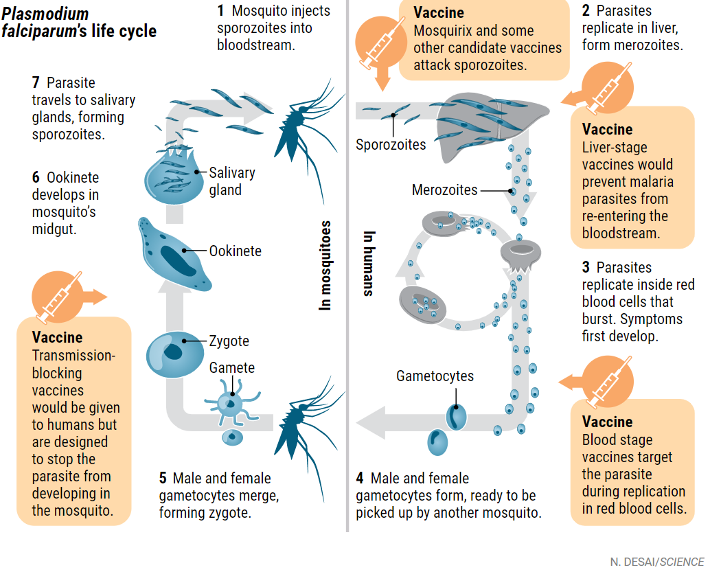 Жизненный цикл малярийного плазмодия